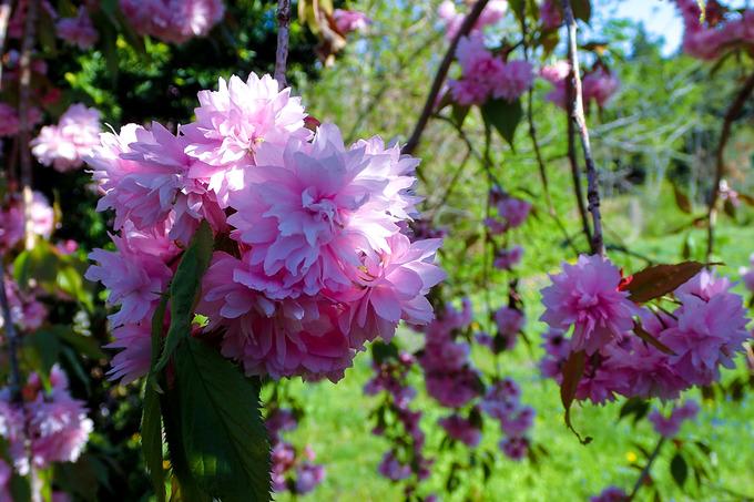 macotoガーデンの桜 ①