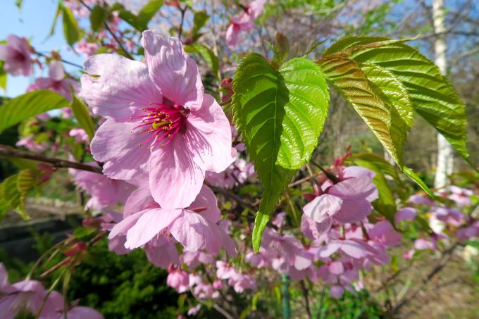 染井吉野が散って、陽光桜が咲き