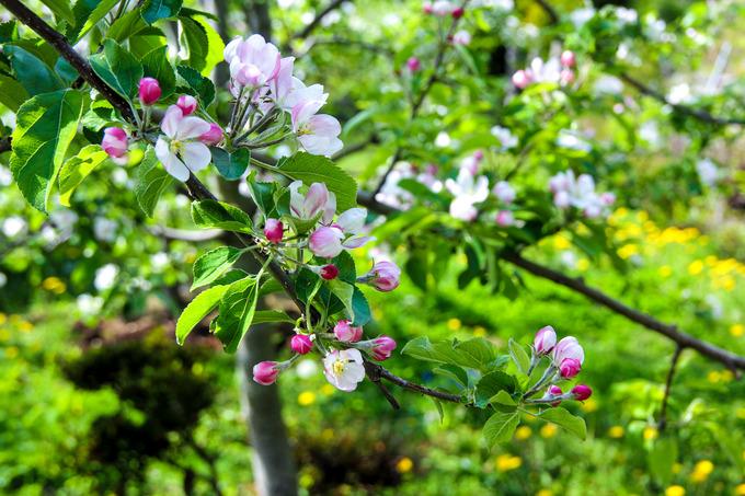 リンゴの花が超満開に