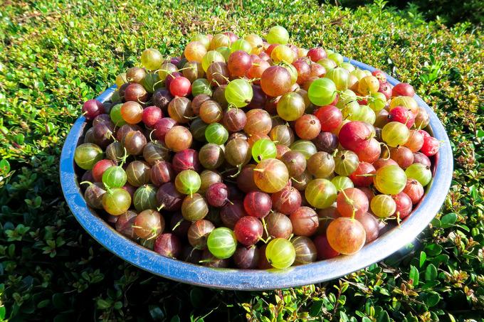 グースベリーの収穫
