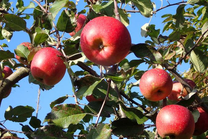 リンゴの花ほころんで半年 真っ赤になりました