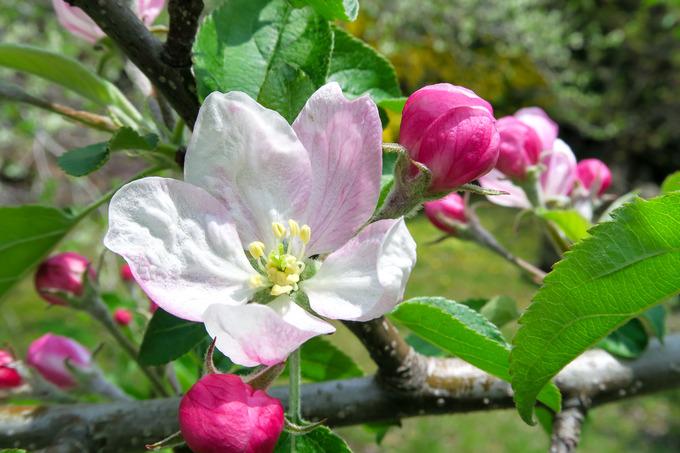 リンゴの花ほころび