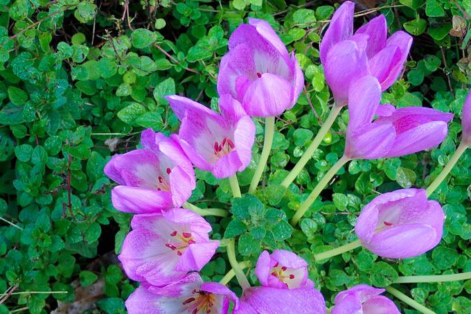 この花が咲くと本格的な秋 コルチカム