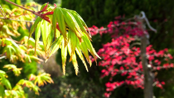 目に眩しい春紅葉