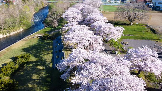 大野川沿いの桜並木 (ドローン動画あり)