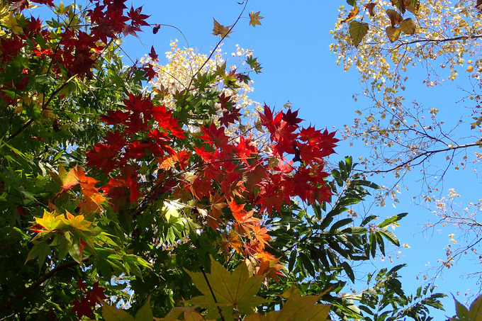 我が家の庭も秋色に カエデ