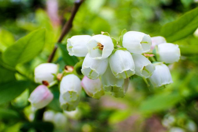 鈴蘭のようなブルーベリーの花