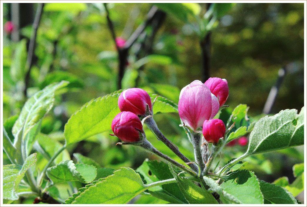 リンゴの花が咲くと思い出す・・・