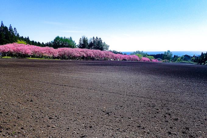 津軽海峡へと続く桜のトンネル