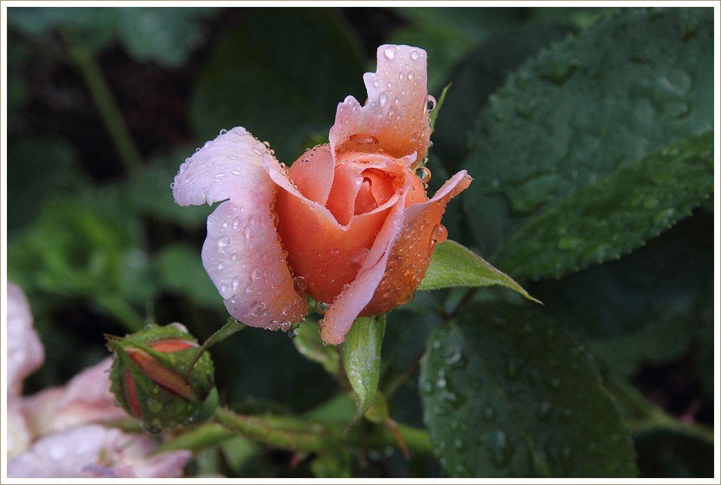 バラが咲いた バラが咲いた・・・