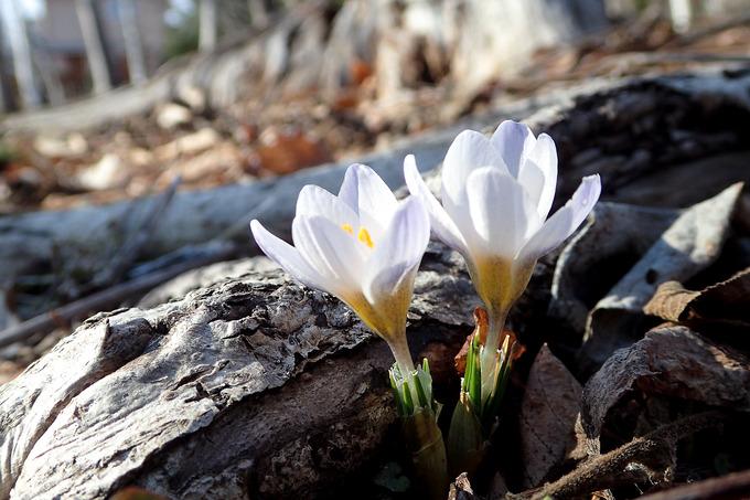早咲きのクロッカス