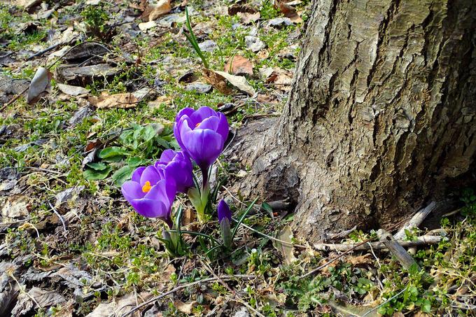 春の陽光と花サフラン