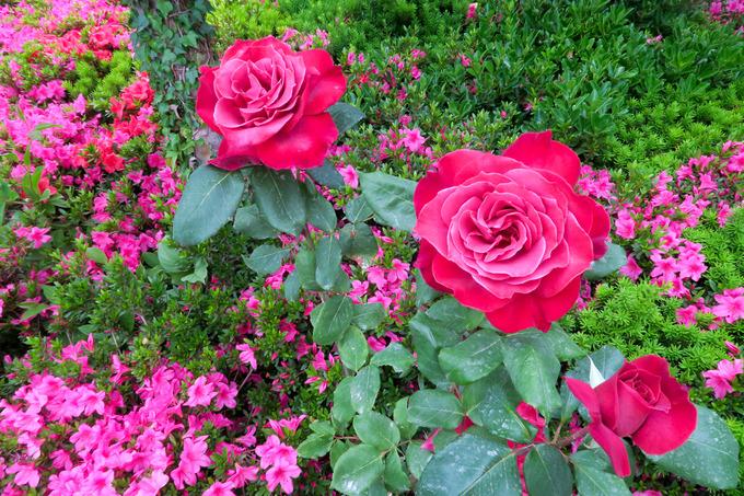 バラ、薔薇、ローズ