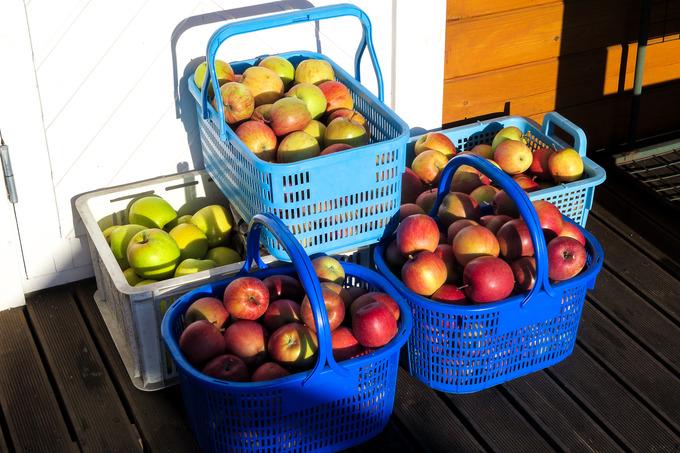 雪がちらちら舞うなか、リンゴの収穫