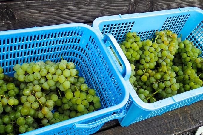 葡萄の薫りに秋を感じて