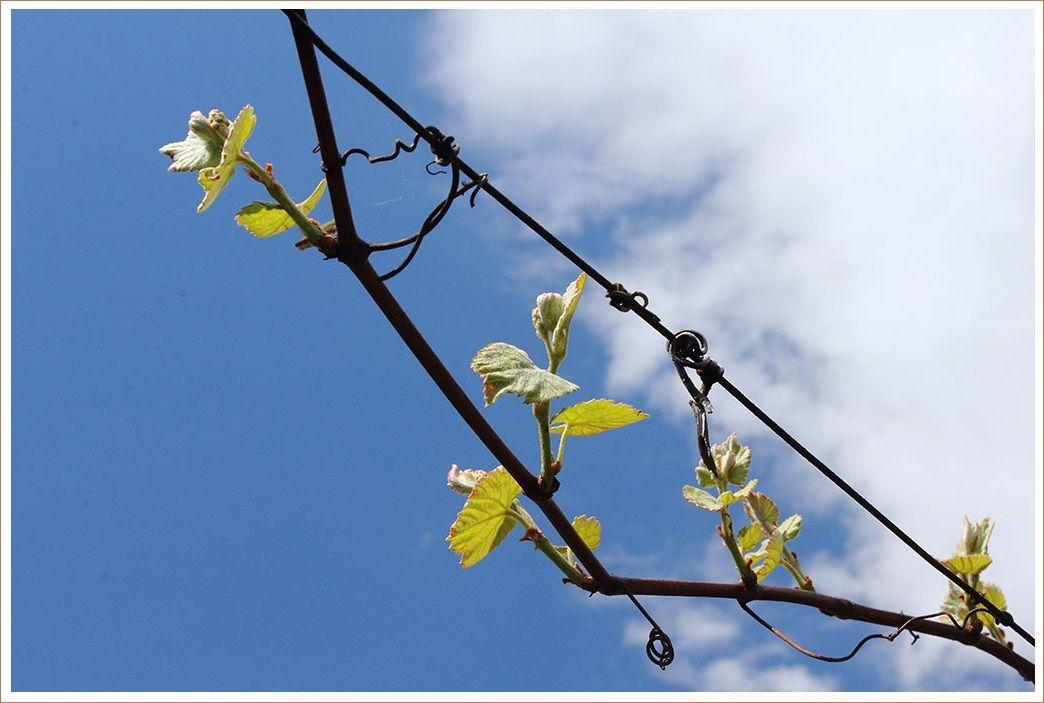 ブドウの花芽が付きました