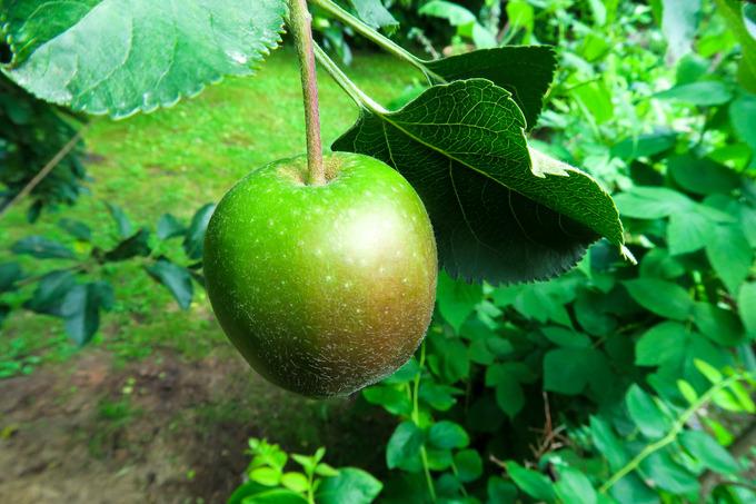 リンゴ村にも初夏の風