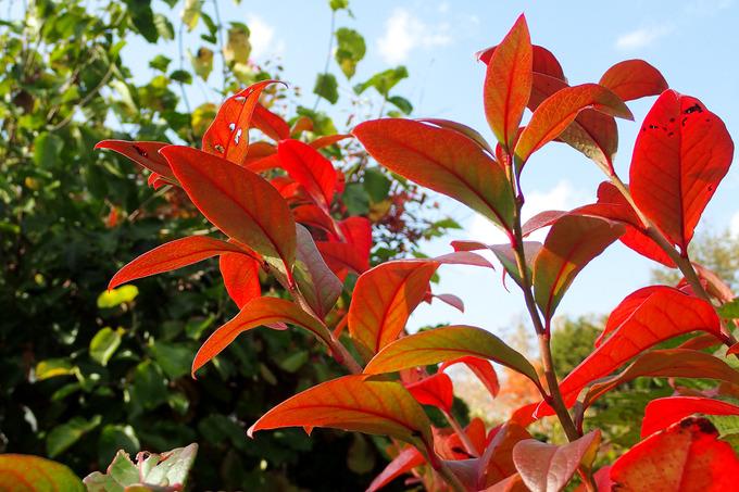 我が家の庭も秋色に ブルーベリー