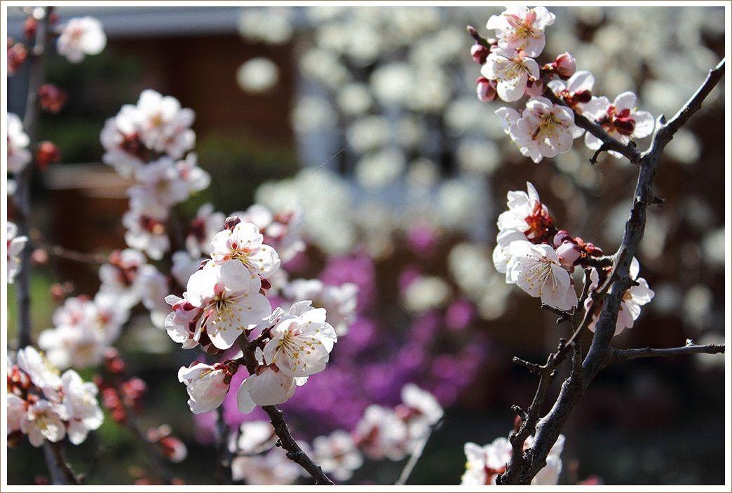 梅と杏が満開