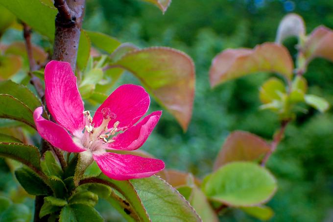 はじめて咲いた花梨の花