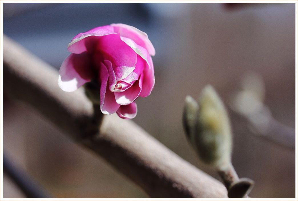 姫コブシが咲き出して