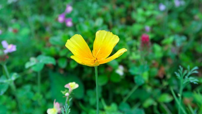 夏花壇点描 ②花菱草