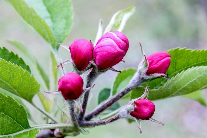 リンゴの花蕾も色づいて