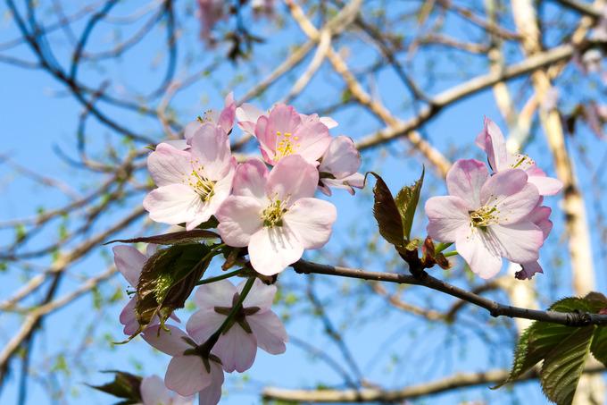 ヤマザクラと花杏が先陣を切って開花