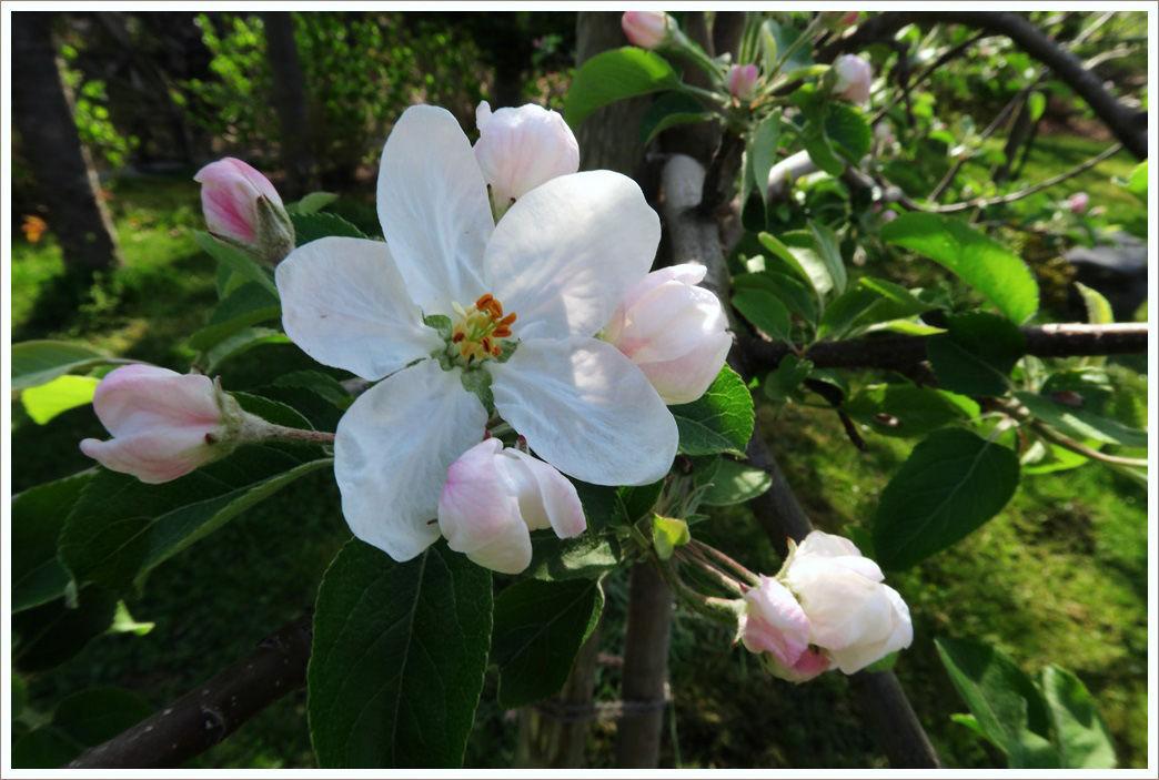 リンゴの花が咲き出して