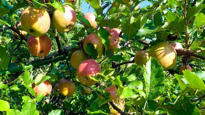リンゴ もう少し我慢ですね