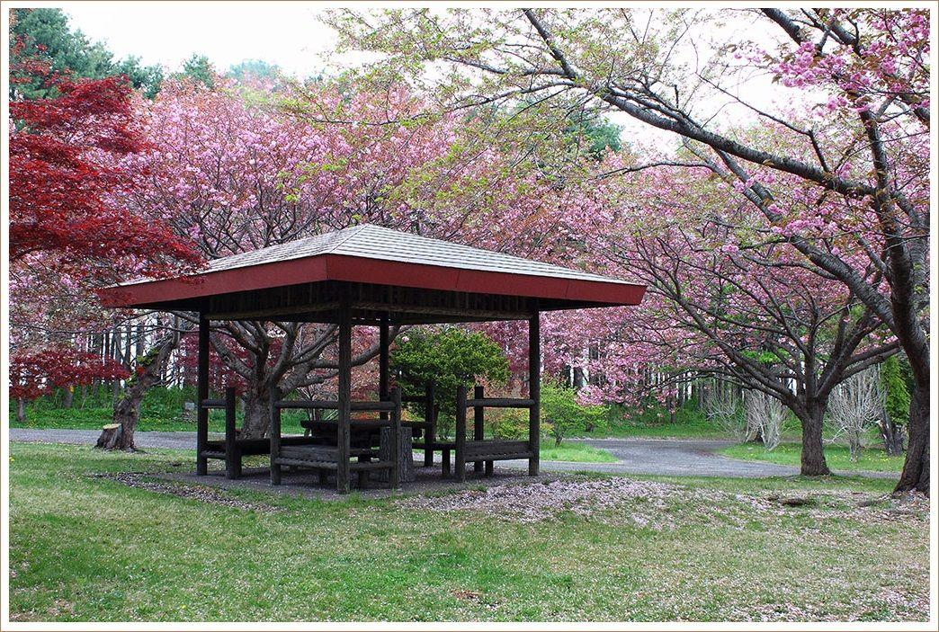 森町の公園の桜