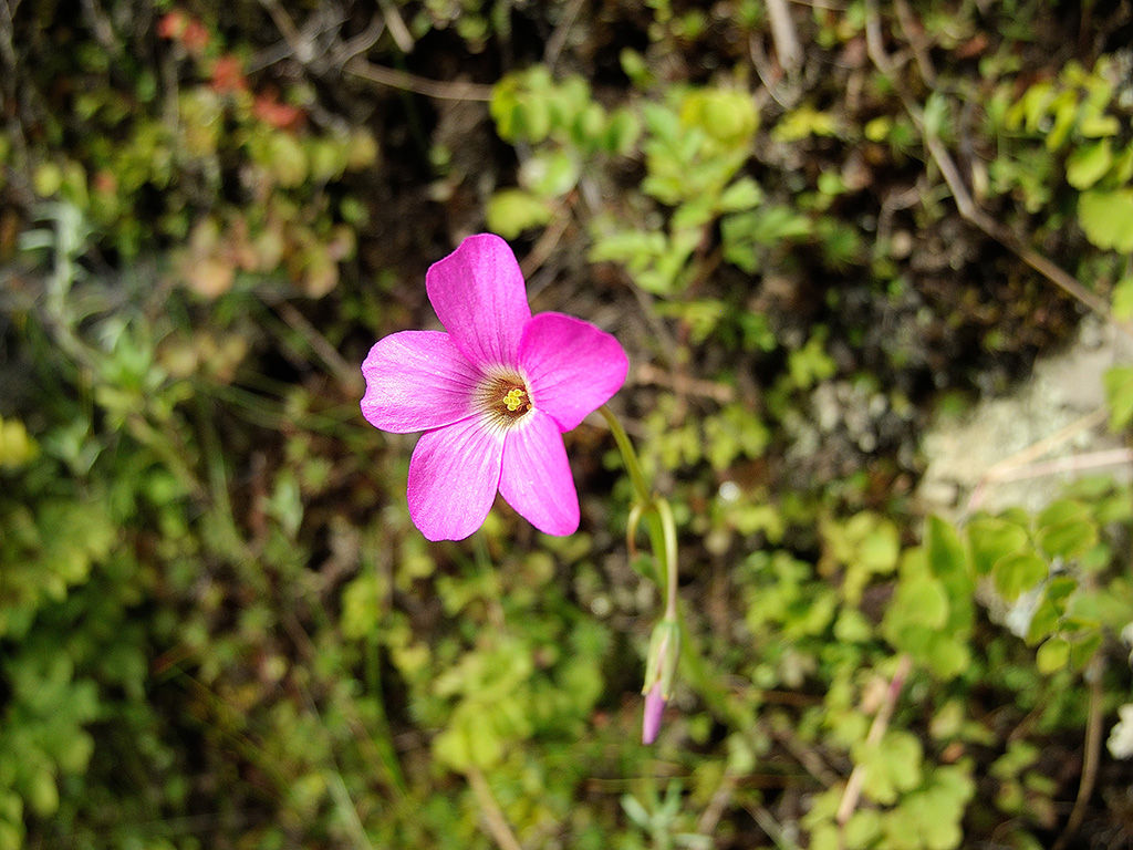 インカ道 道端の花々 その1
