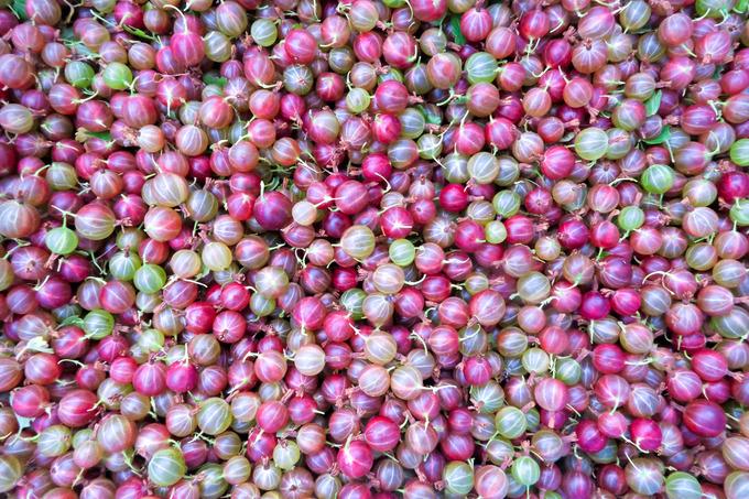 グスベリを収穫