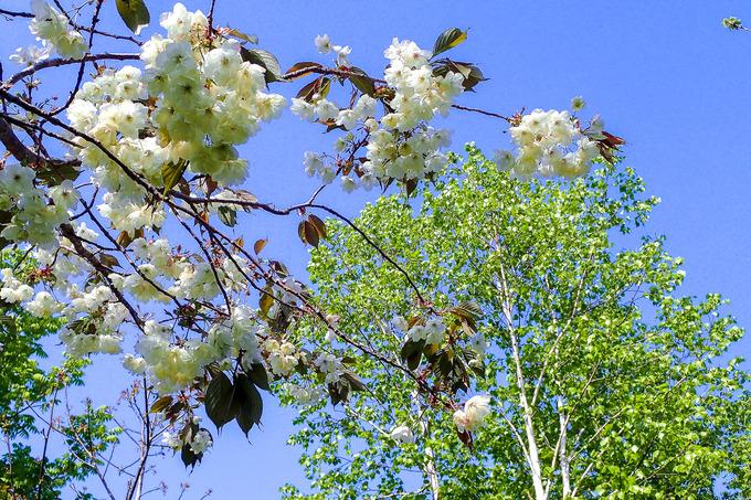 macotoガーデンの桜 ③