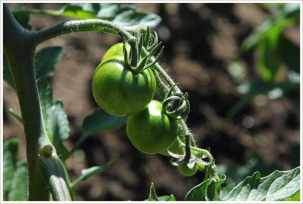 野菜畑の近況