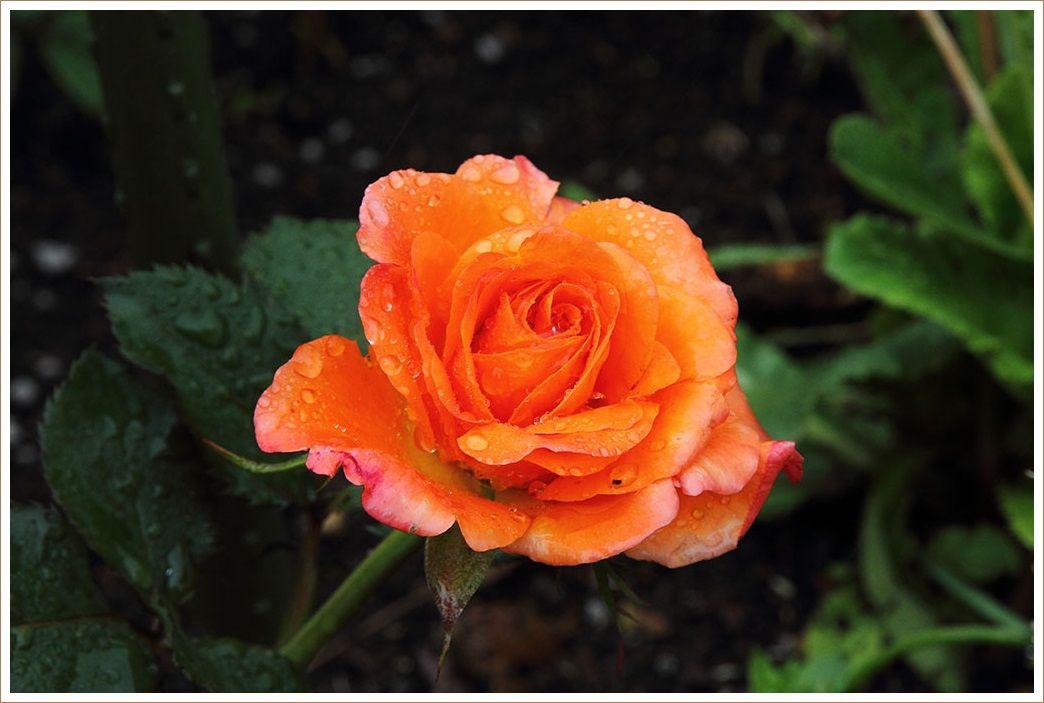 薔薇の咲く頃