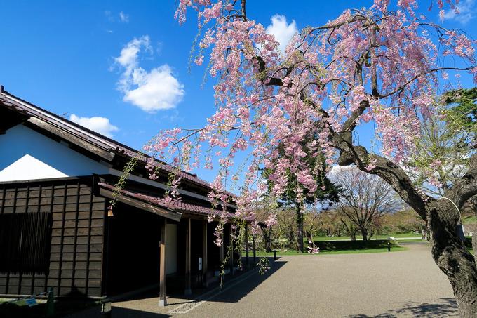 五稜郭公園の枝垂れ桜