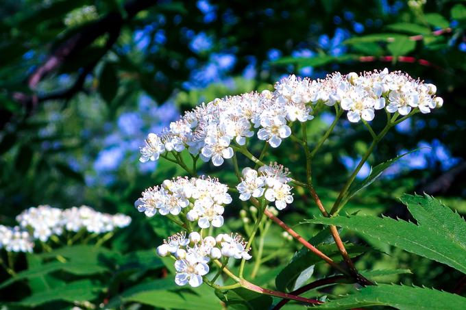 ナナカマドの花の咲くころ