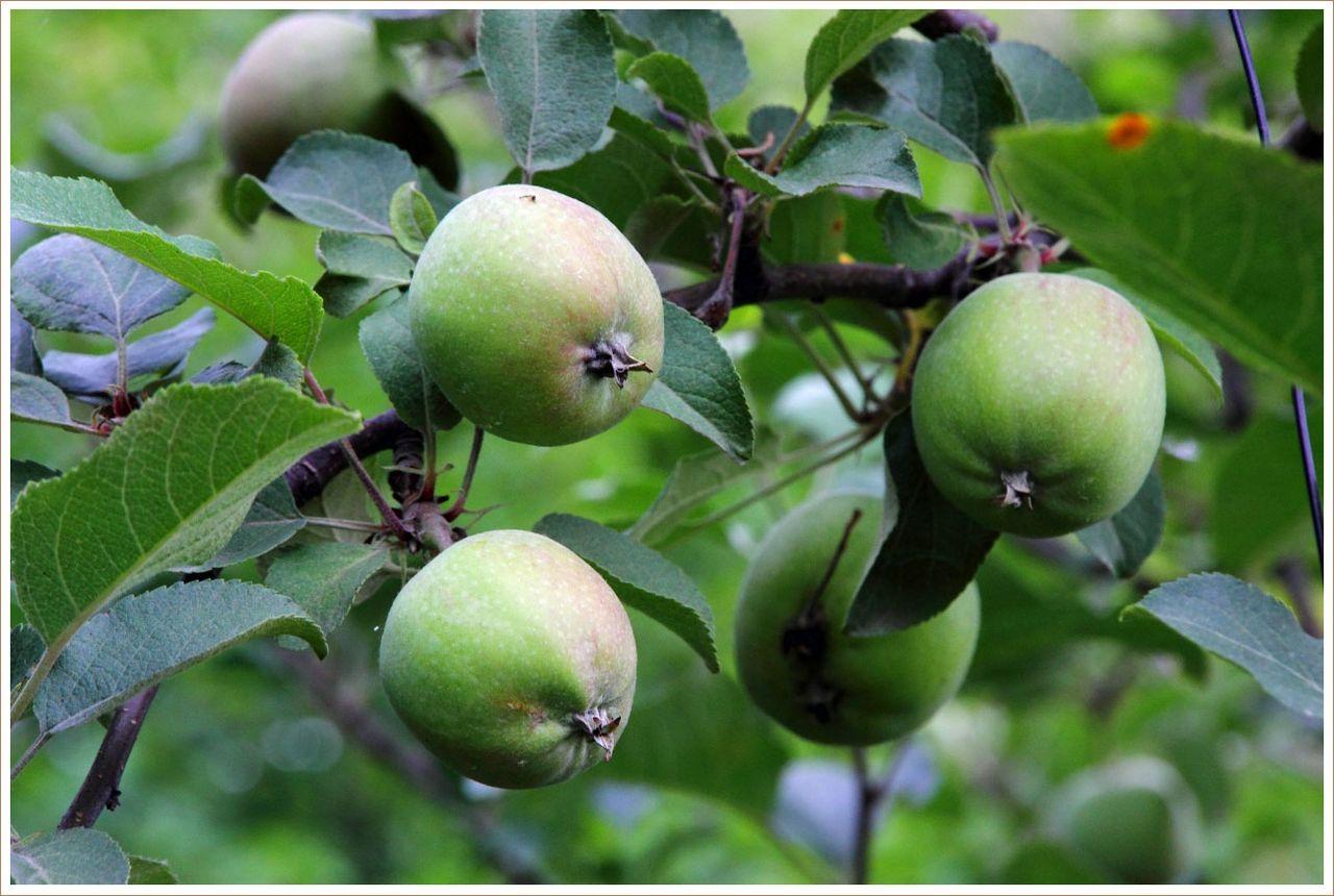 実をつけ過ぎかな・・・リンゴ
