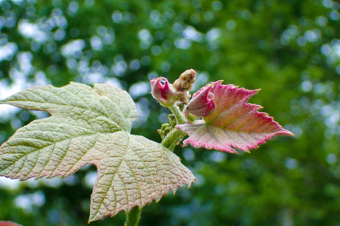 ブドウの蕾も出てきました