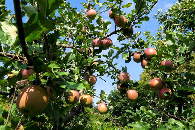 台風に何とか耐えたリンゴ