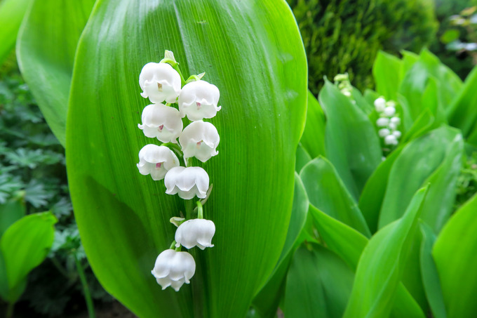 白い花の咲くころ スズランなど