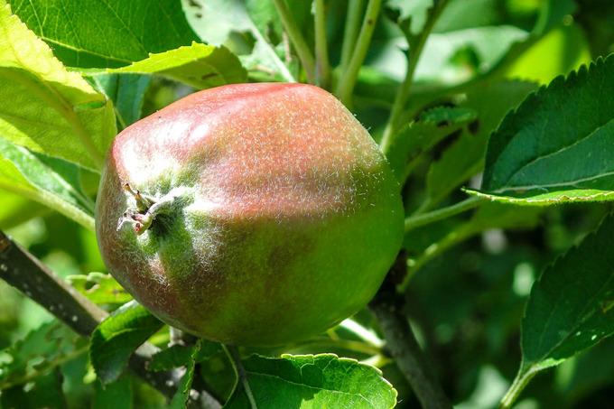 にわかリンゴ農家