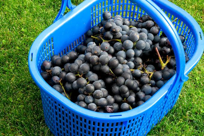黒葡萄の収穫