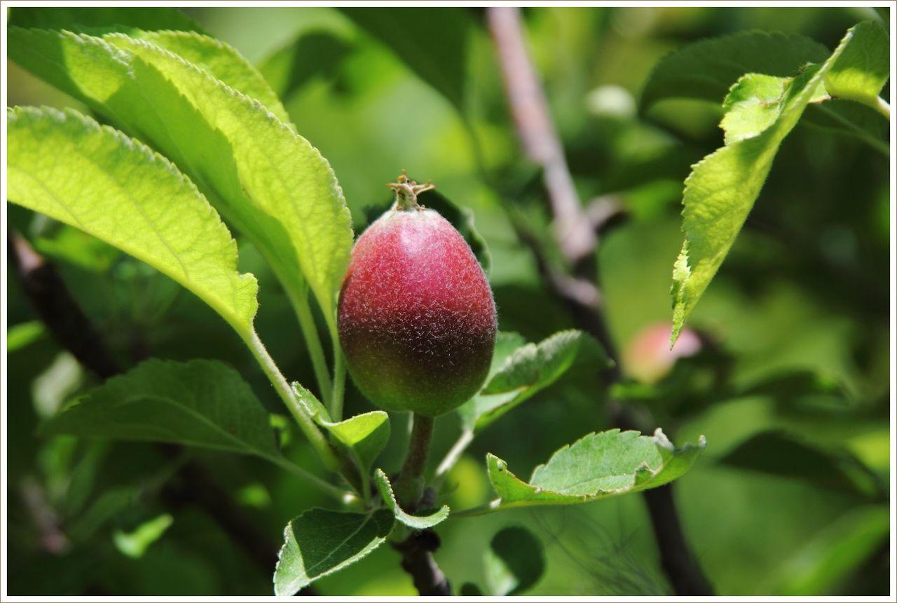 少し大きくなったリンゴなど