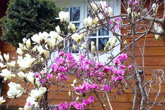 白木蓮と蝦夷紫躑躅(ツツジ)