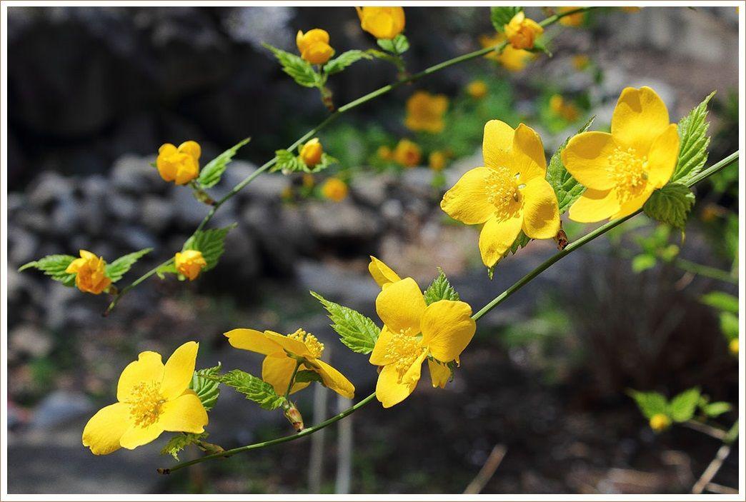 山吹色の花