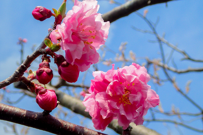 北海道は梅も桜も一緒に