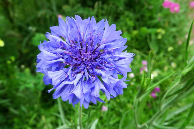 夏花壇点描 ⑤矢車菊