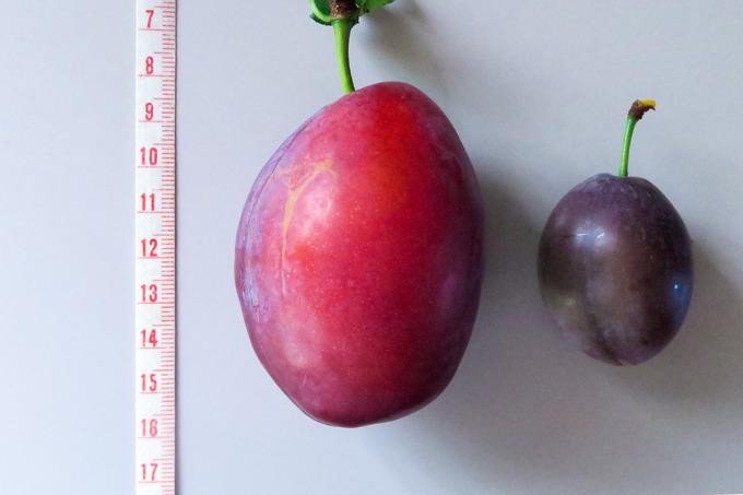 ビッグサイズのプルーン